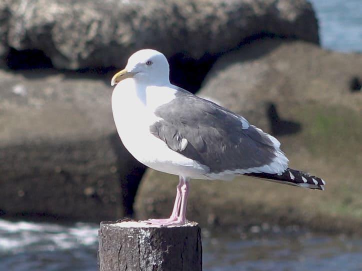 Slay-backed gull