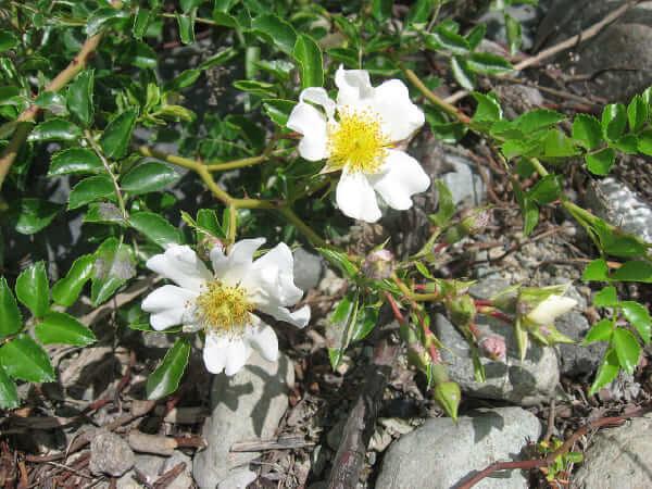 Teriha Rose polyantha